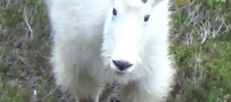 Photo of Mountain Goat ©2017 www.JeffRyanAuthor.com