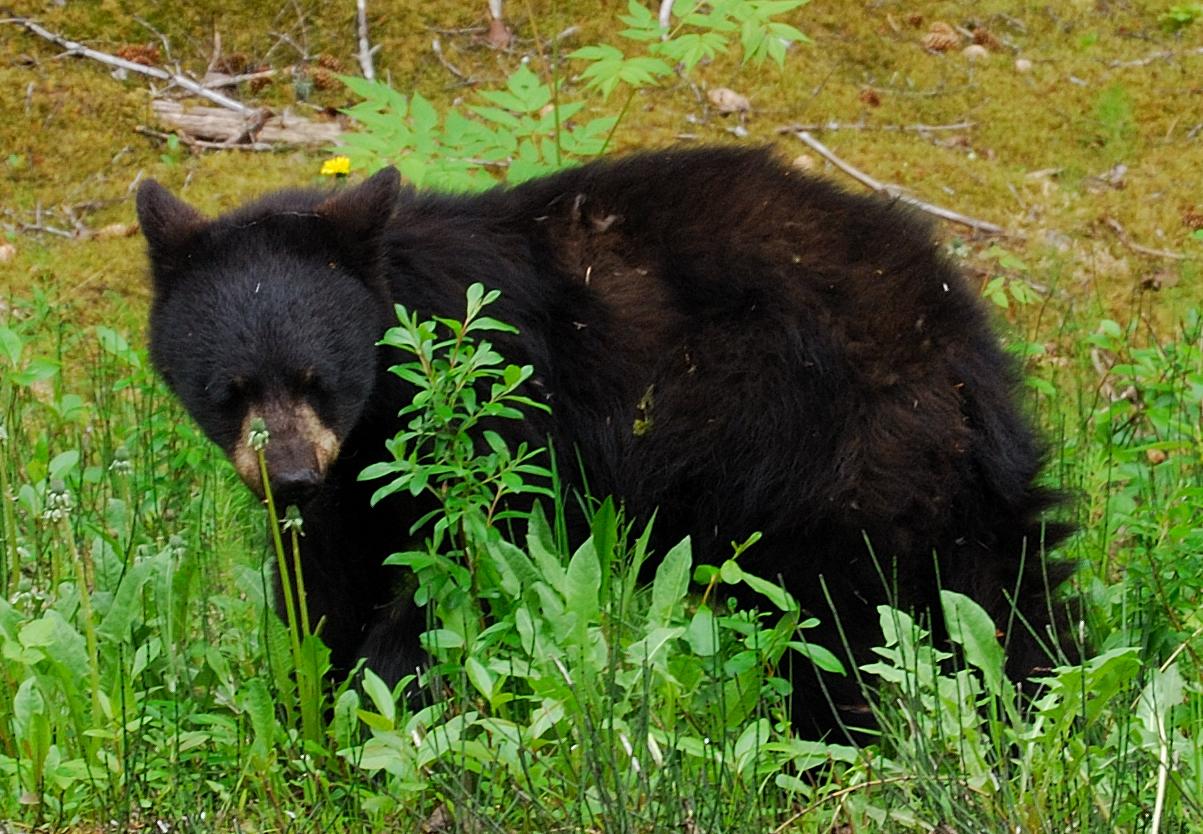 Black_Bear_Yearling